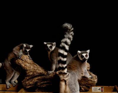 Ring-tailed lemurs (Lemur catta) at the Rolling Hills Wildlife Adventure, Salina, Kansas.