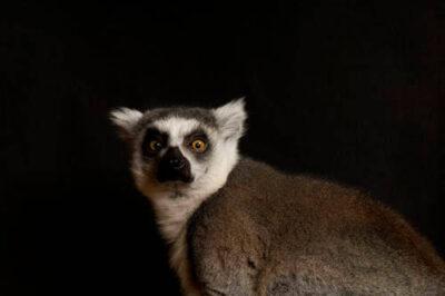 A ring-tailed lemur (Lemur catta) at the Rolling Hills Wildlife Adventure, Salina, Kansas.