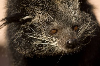 Picture of a vulnerable binturong (Arctictis binturong) at the Riverside Zoo, Scottsbluff, Nebraska.