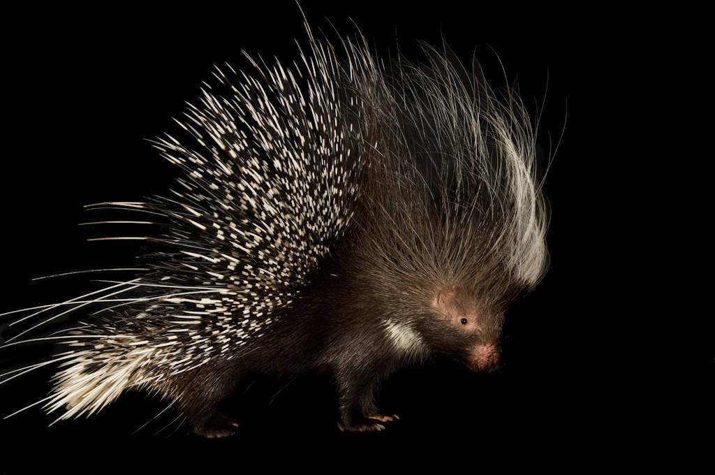 Photo: An African crested porcupine (Hystrix africaeaustralis) at the Riverside Zoo, Scottsbluff, Nebraska.