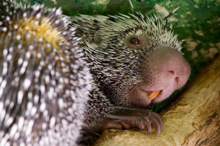 A Brazilian porcupine (Coendou prehensilis) from the Riverside Zoo, Scottsbluff, Nebraska.