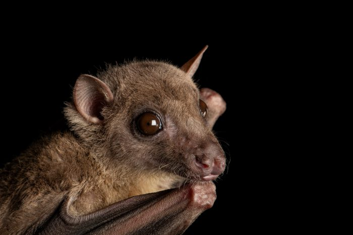 Photo: An Egyptian fruit bat (Rousettus aegyptiacus) at the Omaha Henry Doorly Zoo.