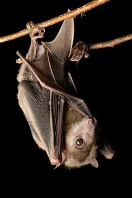 Photo: An Egyptian fruit bat (Rousettus aegyptiacus) at the Omaha Zoo, Omaha, Nebraska.