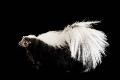 A striped skunk (Mephitis mephitis).