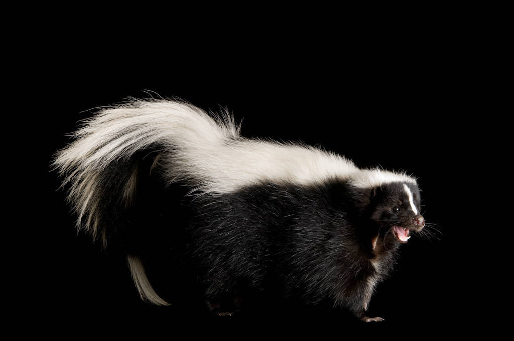 A striped skunk (Mephitis mephitis).