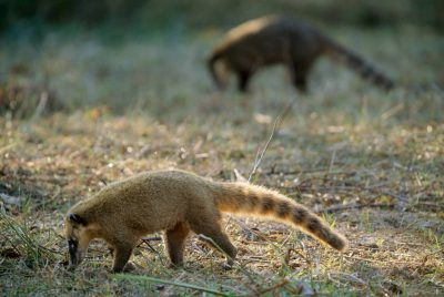 Photo: Coatimundi (Nasua nasua) forage in Brazil's Pantanal region.