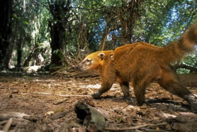 Photo: A coatimundi (Nasua nasua) takes its own picture as it breaks the beam of an infra-red camera trigger in Brazil's Pantanal region.