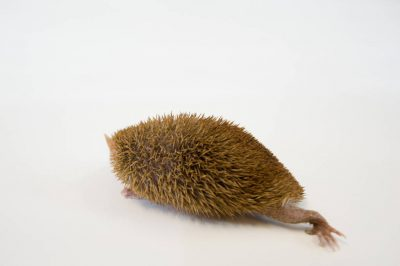 A common tenrec (Tenrec ecaudatus) at the Lincoln Children's Zoo, Lincoln, Nebraska.