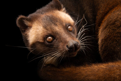 Photo: A Sumatran palm civet (Paguma lavarta leucomystax) at Tierpark Berlin.