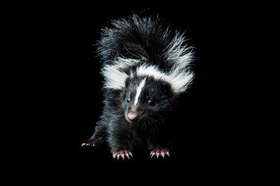 A juvenile skunk (Mephitis mephitis).