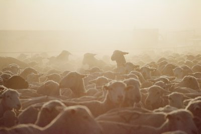 Photo: Sheep gather in a pen at the Broadbent Ranch in Granger, Wyoming.