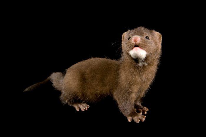 Juvenile mink (Neovison vison).
