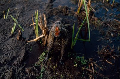 Photo: A nutria (Myrocastor coypus) shows its chisel-like teeth, which are used for feeding on the roots of marsh plants.