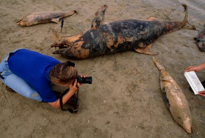 Photo: A researcher from the Texas Marine Mammal Stranding Network photographs dead bottlenose dolphins (Tursiops truncatus) washed up from the Gulf of Mexico in a research effort to determine what killed the animals.