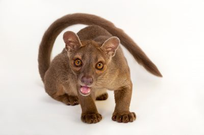A vulnerable 1-year-old fossa, Cryptoprocta ferox, at the Omaha Zoo. This is Madagascar's largest mammalian predator, and its numbers are declining in the wild.