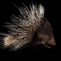 Indian crested porcupine (Hystrix indica) at the Omaha Zoo.