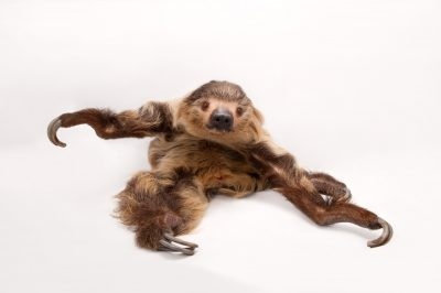 A Linne's two-toed sloth (Choloepus didactylus).