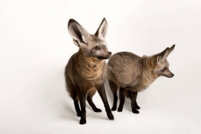 A pair of bat-eared foxes (Otocyon megalotis) at the Omaha Zoo.