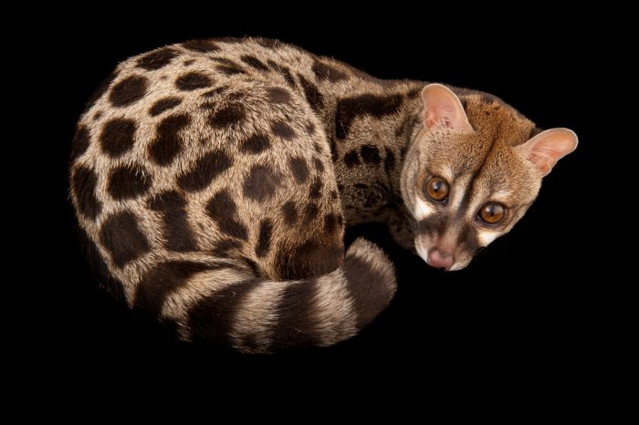 Picture of a rusty-spotted genet or Central African large-spotted genet (Genetta maculata) at the Miller Park Zoo.