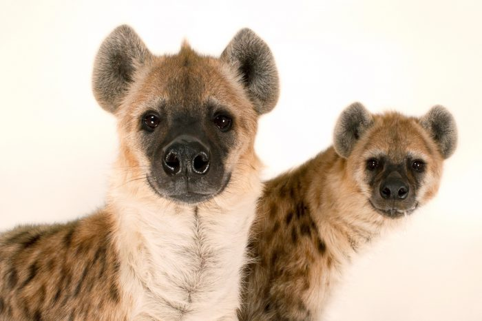 Spotted hyenas (Crocuta crocuta) at the Sunset Zoo.