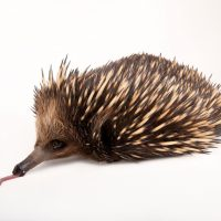 A short-nosed echidna (Tachyglossus aculeatus) at the Melbourne Zoo.
