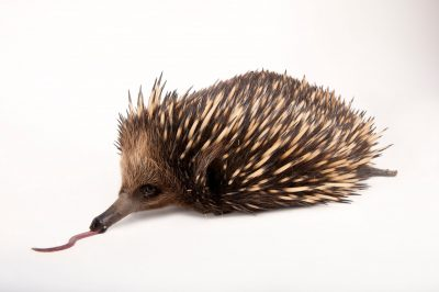 A short-nosed echidna (Tachyglossus aculeatus aculeatus) at the Melbourne Zoo.