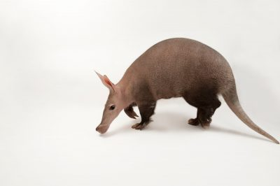 An Aardvark (Orycteropus afer) at the Omaha Zoo.