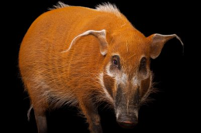 Picture of a red river hog (Potamochoerus porcus) at the Columbus Zoo.