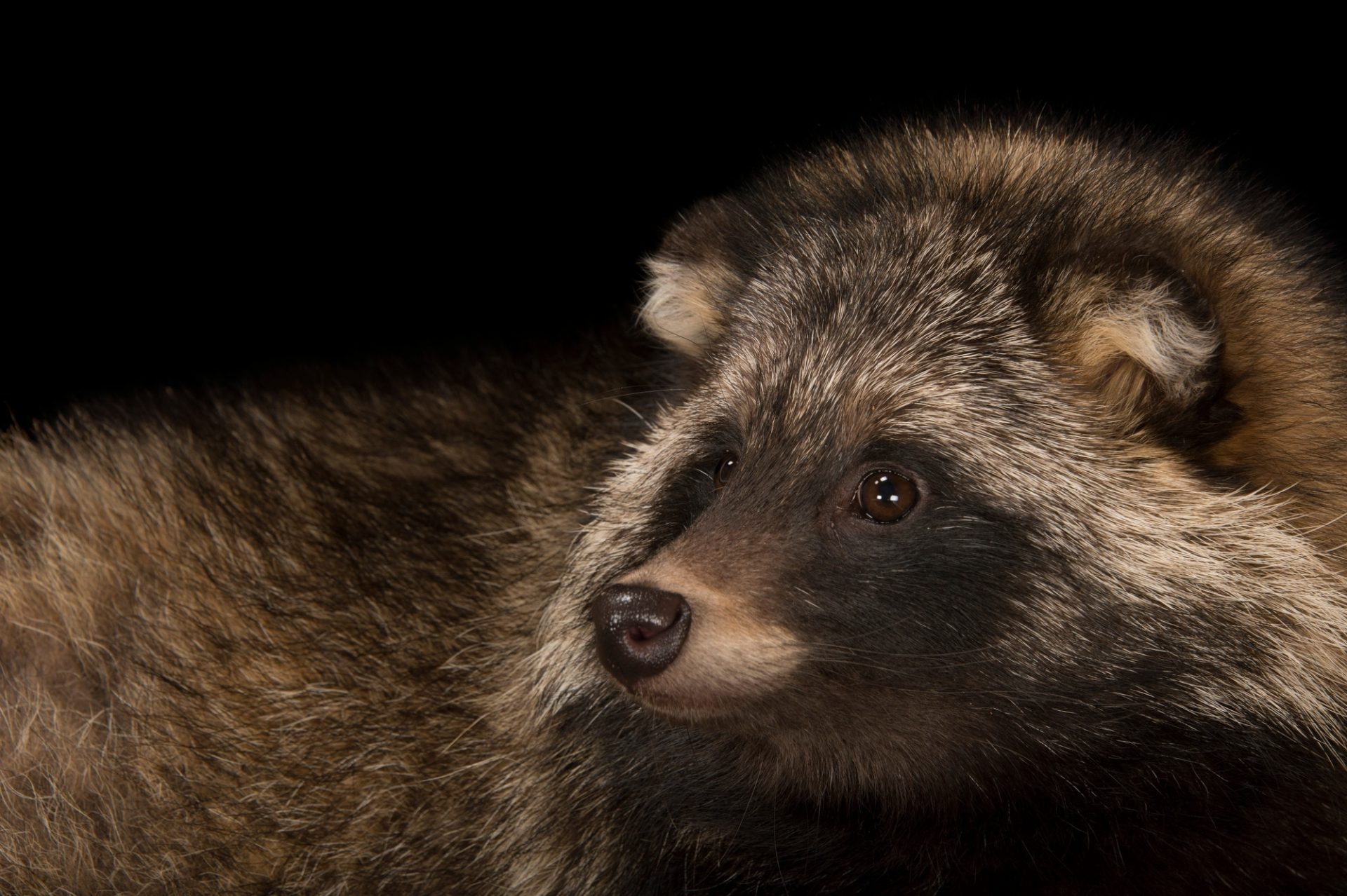 A raccoon dog (Nyctereutes procyonoides) named Thor at Zoo Atlanta. Engaging and curious but skittish, the raccoon dog was said to be a shape shifter according to ancient Japanese legend.