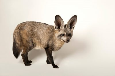 Bat-eared fox (Otocyon megalotis) at the Omaha Zoo.