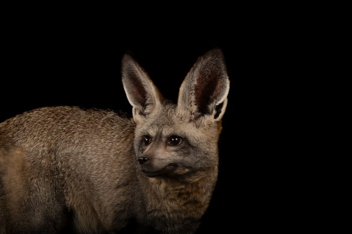 Bat-eared fox (Otocyon megalotis) at the Omaha Zoo.