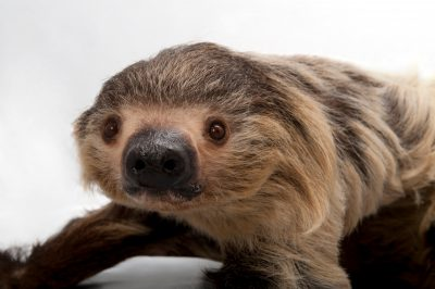 A two-toed sloth (Choloepus didactylus) at the Lincoln Children's Zoo.