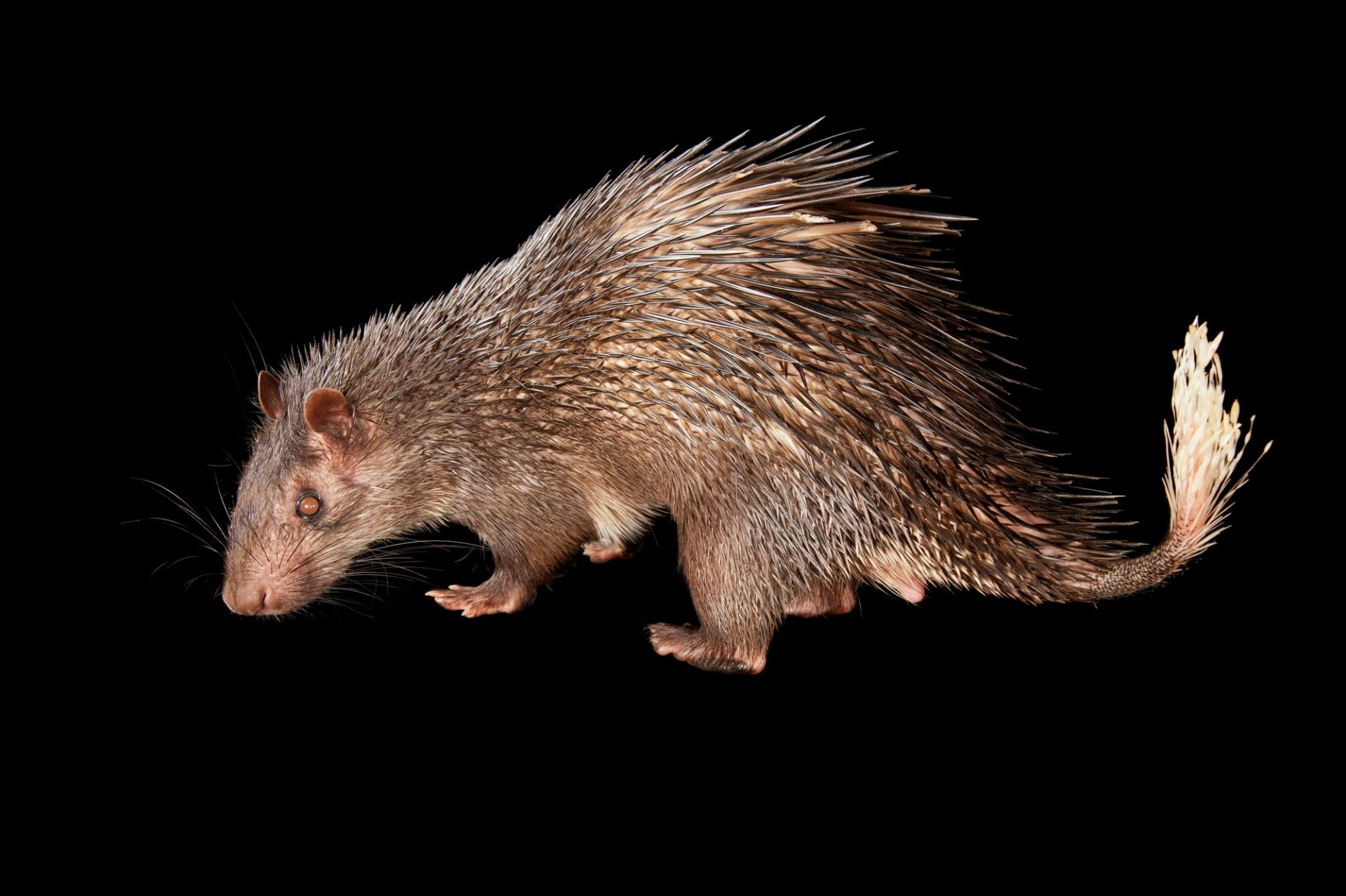 An African brush-tailed porcupine (Atherurus africanus) at the Omaha Zoo.