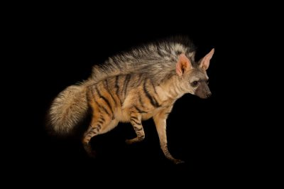 A male Aardwolf (Proteles cristatus) displays the large mane on his back when wanting to look fierce. There are three left in captivity in the U.S.