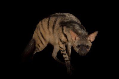 A female Aardwolf (Proteles cristatus) at the Cincinnati Zoo.