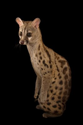 Picture of a South African large-spotted genet (Genetta tigrina) at the Cincinnati Zoo.