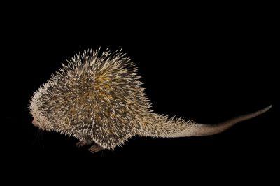 A Brazilian porcupine (Coendou prehensilis) named Sharpita at Tampa's Lowry Park Zoo.
