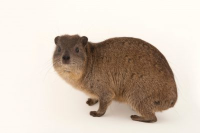 Rock hyrax (Procavia capensis) at Tampa's Lowry Park Zoo.