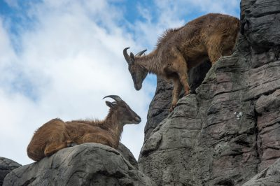 Photo: Himalayan tahr (Hemitragus jemlahicus) at the Taronga Zoo.
