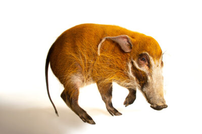 Picture of a red river hog (Potamochoerus porcus) named Sir Francis Bacon at the Cincinnati Zoo. This was a hand-raised and very friendly program animal. He was hungry the entire time and posed easily as long as the yams didn't run out.