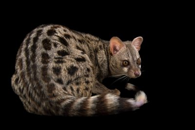 Picture of a common genet (Genetta genetta) at the Conservators center.