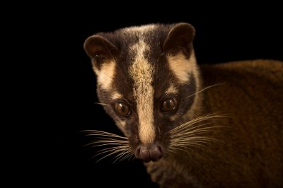 Picture of a masked palm civet or gem-faced civet (Paguma larvata) at the Carnivore and Pangolin Conservation Center in Cuc Phuong National Park, Vietnam.