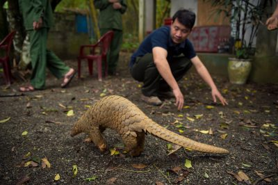Picture of an endangered sunda pangolin (Manis javanica) at the Carnivore and Pangolin Conservation Center in Cuc Phuong National Park, Vietnam.