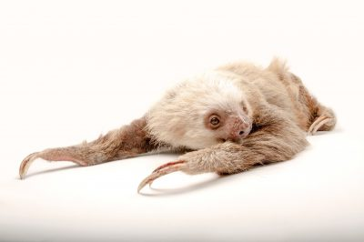 Picture of a Hoffmann's two-toed sloth (Choloepus hoffmanni hoffmanni) at the Gladys Porter Zoo in Brownsville, Texas.