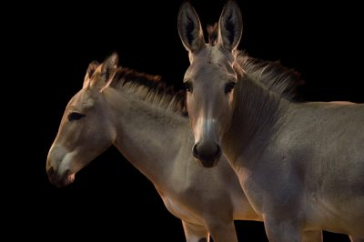Picture of critically endangered Somali wild ass (Equus africanus somaliensis) at the Dallas Zoo. These are sisters, named Hani and Qumar.