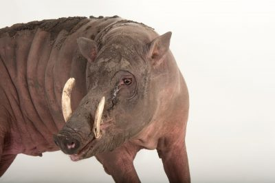 Picture of a vulnerable North Sulawesi babirusa (Babyrousa celebensis) at the Audubon Zoo in New Orleans, Louisiana.