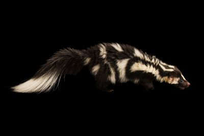 Picture of a western spotted skunk (Spilogale gracilis) at Utah's Hogle Zoo in Salt Lake City, Utah.