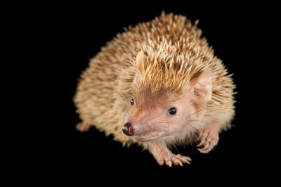 Picture of a tenrec (Echinops telfairi) at the Lincoln Children's Zoo.