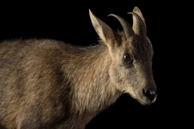 Picture of a vulnerable Chinese goral (Naemorhedus griseus arnouxianus) at the Oklahoma City Zoo.