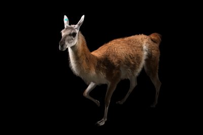 Picture of a guanaco (Lama guanicoe) named Squirt at the Santa Fe College Teaching Zoo.
